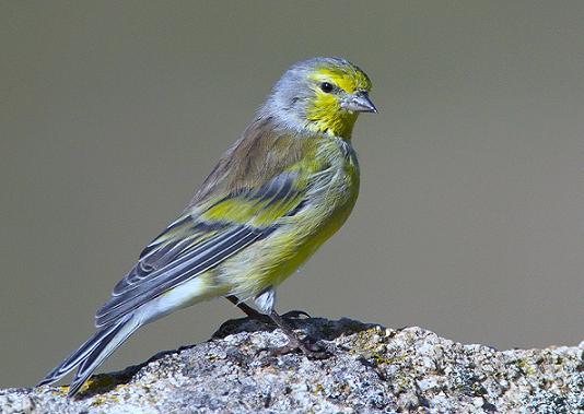 Uccelli fringillidi
