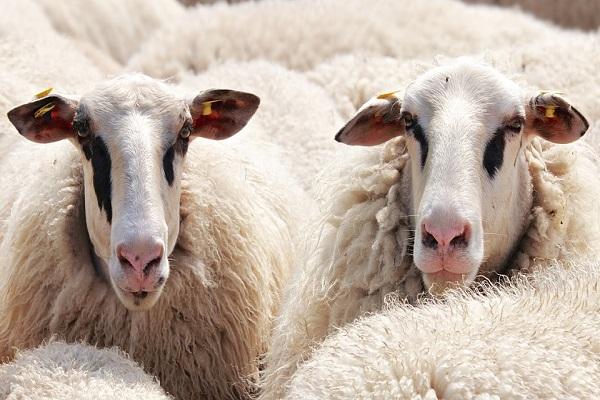 News Irpinia, auto piomba su gregge, strage di pecore